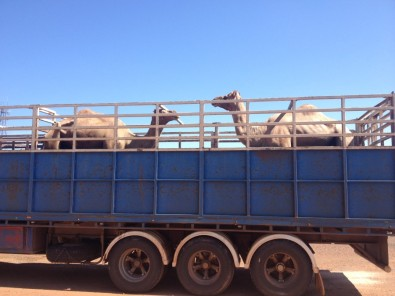 pure bread camels. On the way to arabia?