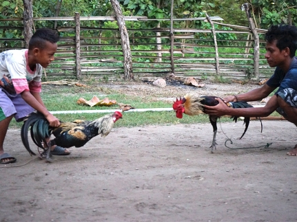 East Timor - the guys showed me in the morning, how the cock fight works!...each rooster cost about US$200...can you believe this! they offered me breakfast and left them with a good bye and shake hands... Total surprise stay.